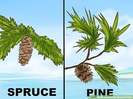 3 ways to identify spruce trees wikihow