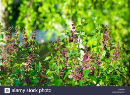lilac bush and sunlight stock photos u0026 lilac bush and sunlight