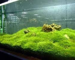 java moss care tips moss carpets u0026 moss trees aquarium info