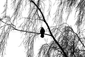 silhouette of the bird on birch tree stock photo colourbox
