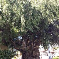 from geraldton waxflower to peppermint tree the smarter gardener