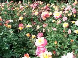 mardi gras roses mardi gras