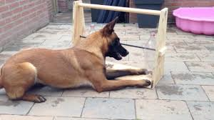 belgian shepherd hair loss smarter than your average dog bella gets rewarded ntd inspired