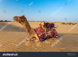 thar desert animals camels thar desert jaisalmer city rajasthan stock photo 209595028