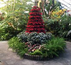 poinsettia tree poinsettia growing and display tips