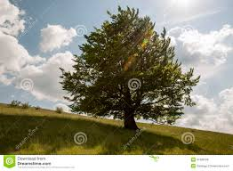 oak tree stock photos images u0026 pictures 82 147 images
