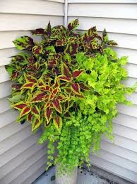 How To Grow Coleus Plants by All About Coleus Garden Org