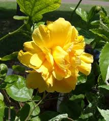 Yellow Hibiscus Flowers - some fresh hibiscus flowers this morning the daily hibiscus