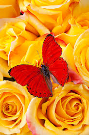butterfly with yellow roses photograph by garry