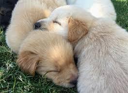 dog rescue gardens for goldens