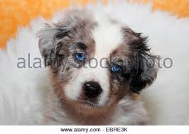 australian shepherd nose miniature australian shepherd puppy dog sitting licking face