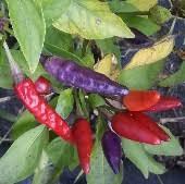 masquerade masquerade peppers ornamental peppers capsicum