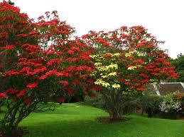 poinsettia tree poinsettia plants can grow into a medium sized tree in their