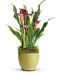 calla lilly teleflora s calla plant teleflora