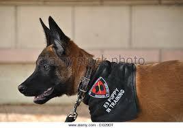 9 month old belgian malinois belgian malinois military working dog stock photos u0026 belgian
