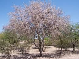 arizona native plants a rather large ironwood tree covered in pink blossoms desert