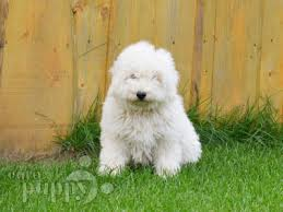 bichon frise uae puli puppies breed information u0026 puppies for sale