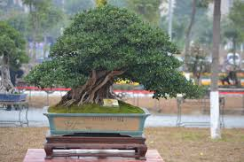 guangzhou exposition bonsai quinn