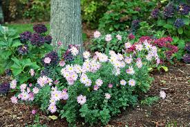 Flowering Shrubs For Partial Sun - coffee for roses ten perennials you should know and grow