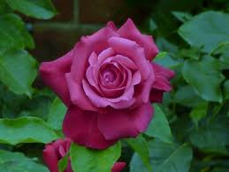 Roses For Sale Growing And Maintaining Roses For Maximum Flowering Perrywood