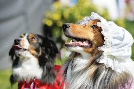 australian shepherd look alike barkly barks dog festival 2017 may 28 australian dog lover