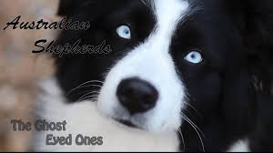 australian shepherd with blue eyes australian shepherds the ghost eyed ones youtube