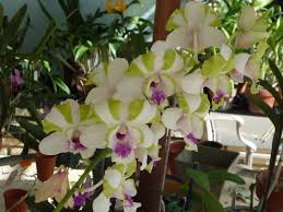 orchids for sale orchids for sale venice area orchid society
