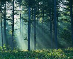 image pine tree forest winterthalias pine c borders