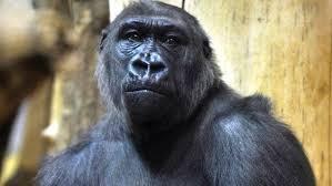 Gorilla Warfare Meme - gorilla channel warfare parody book excerpt fools trump trashers