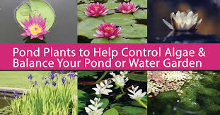 pond plants to algae balance your water garden