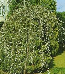 willow tree 9l pot salix caprea kilmarnock bushy ornamental