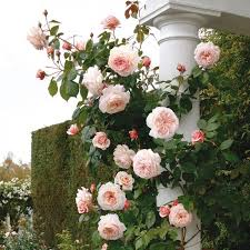 best 25 david austin roses ideas on pinterest david austin
