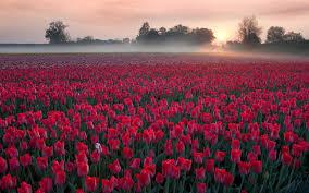Netherlands Tulip Fields Tulip Field Wallpapers Group 84