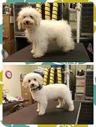 boxer dog adoption los angeles los angeles ca maltese mix meet savannah a dog for adoption