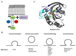 Family G Ijms Free Full Text Structural Basis Of Membrane Trafficking