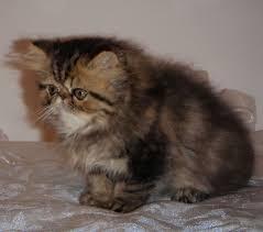 studio persiani vendita cucciolo persiano da privato a roma gatti persiano in