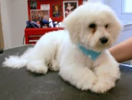 shichon haircuts more before after groom pics