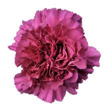 Wholesale Carnations Wholesale Carnations Guide U0026 Wedding Flower Guides Uk Triangle
