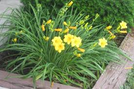 Day Lillies Bringing The Outside In Climbing Downhill