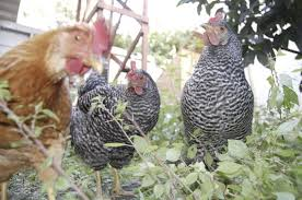 Chickens In The Backyard by Save Money Save No Money With Backyard Chickens The Billfold
