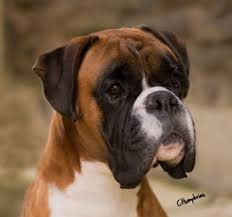 boxer dog uk boxer stud dogs show team
