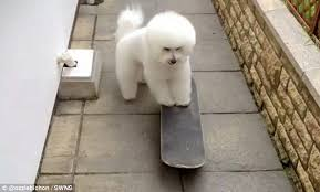 bichon frise 17 years old ozzie the bichon frise builds up huge following after hilarious
