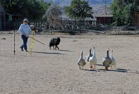 belgian sheepdog rescue groups photos belgian sheepdog club of america