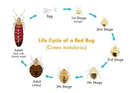 how can you get rid of bed bugs getting rid of bed bugs naturally life cycle of a bed bug rid bed