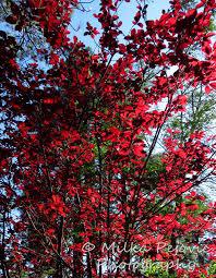 festival of leaves ornamental plum tree with leaves milka