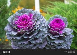 purple green decorative cabbage image photo bigstock