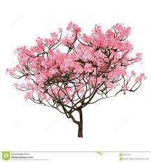 cherry blossom tree cherry blossom tree drawing cherry blossom tree trendy last