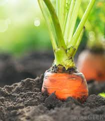 A Root Vegetable - what are the differences between fruits and vegetables