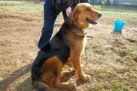 belgian sheepdog golden retriever mix free golden retriever mix for sale