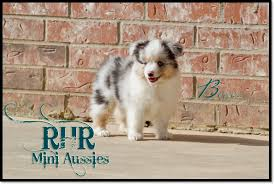 black n blue australian shepherds rhr miniature australian shepherds puppies